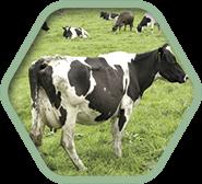 Средства для обработки вымени и копыт крупного рогатого скота